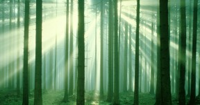 Sunbeams through forest trees, morning